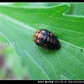 鞘翅目-龜紋瓢蟲_03