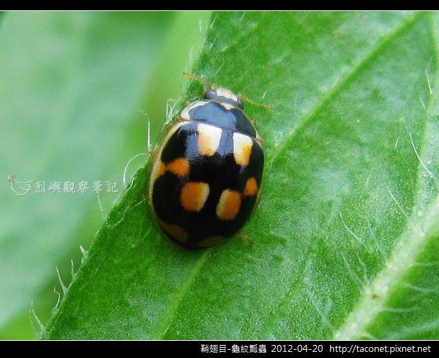 鞘翅目-龜紋瓢蟲_02