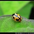 鞘翅目-龜紋瓢蟲_04