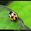 鞘翅目-龜紋瓢蟲_05