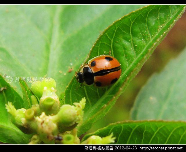 鞘翅目-龜紋瓢蟲_08