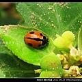 鞘翅目-龜紋瓢蟲_06