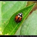 鞘翅目-龜紋瓢蟲_07