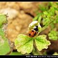 鞘翅目-龜紋瓢蟲_09