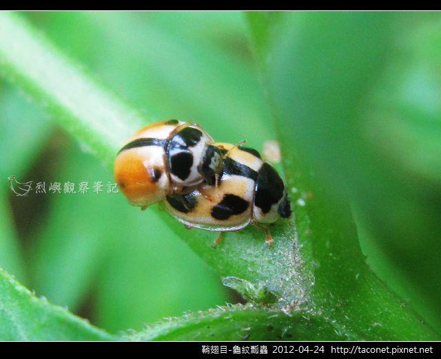 鞘翅目-龜紋瓢蟲_14
