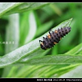 鞘翅目-龜紋瓢蟲_13