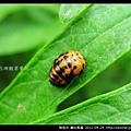 鞘翅目-龜紋瓢蟲_15