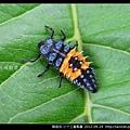 鞘翅目-小十三星瓢蟲_02