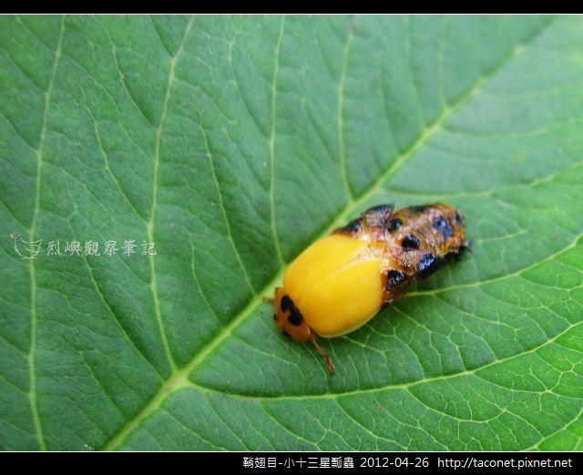 鞘翅目-小十三星瓢蟲_03