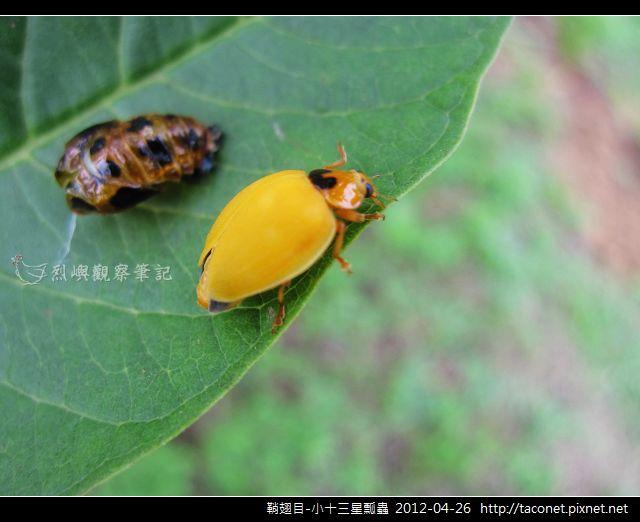 鞘翅目-小十三星瓢蟲_04