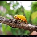 鞘翅目-小十三星瓢蟲_06