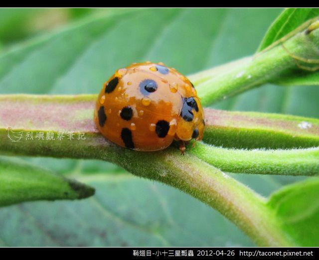鞘翅目-小十三星瓢蟲_07