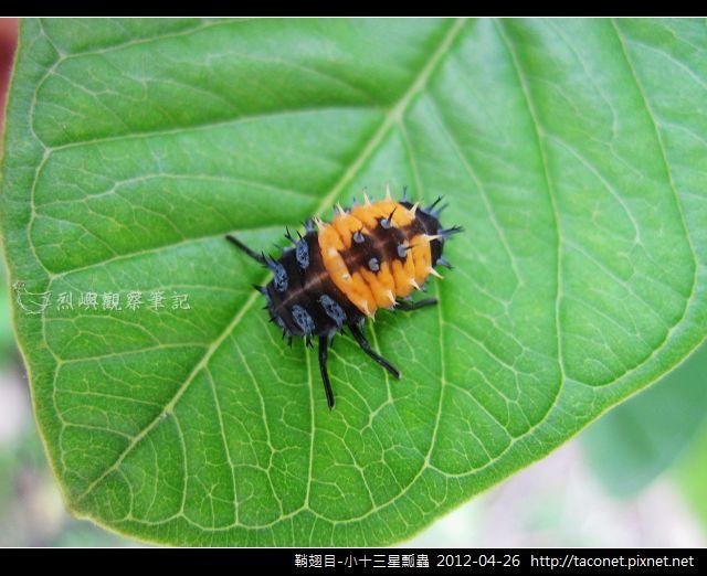 鞘翅目-小十三星瓢蟲_05