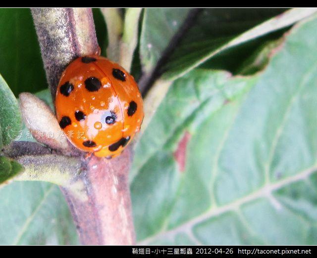 鞘翅目-小十三星瓢蟲_09