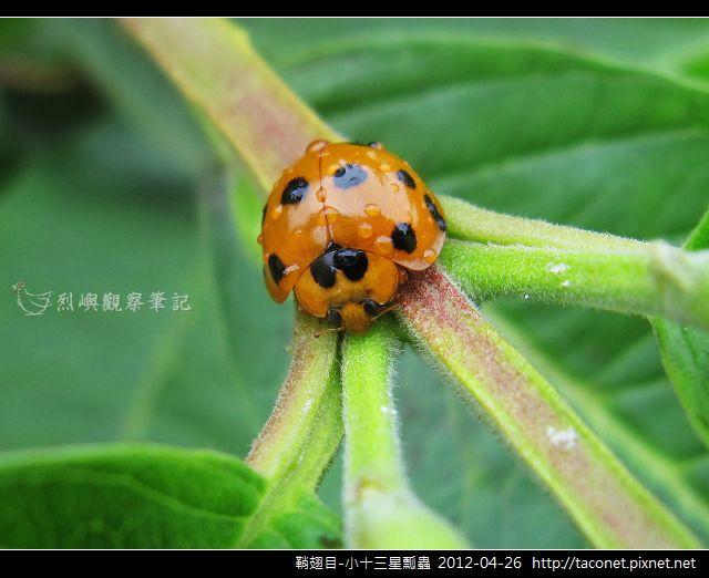 鞘翅目-小十三星瓢蟲_08