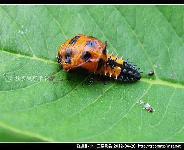 鞘翅目-小十三星瓢蟲_10