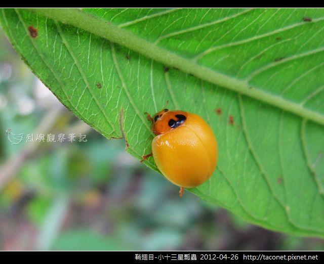 鞘翅目-小十三星瓢蟲_12