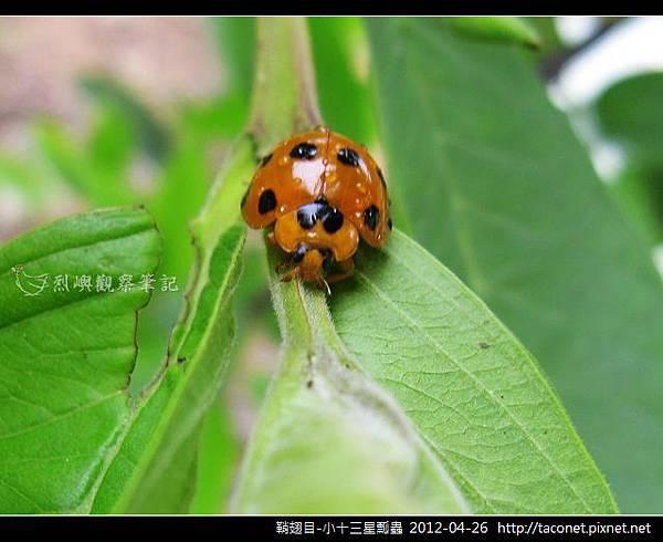 鞘翅目-小十三星瓢蟲_13
