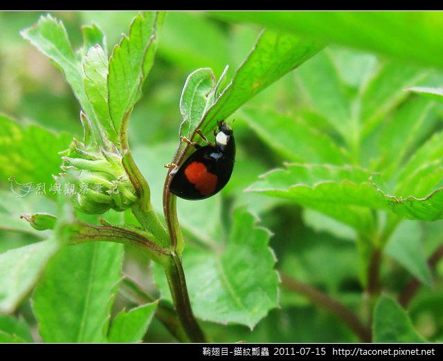 鞘翅目-錨紋瓢蟲_01