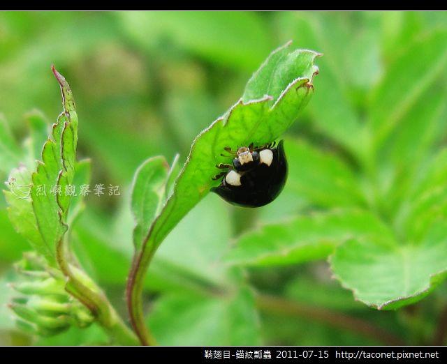 鞘翅目-錨紋瓢蟲_02