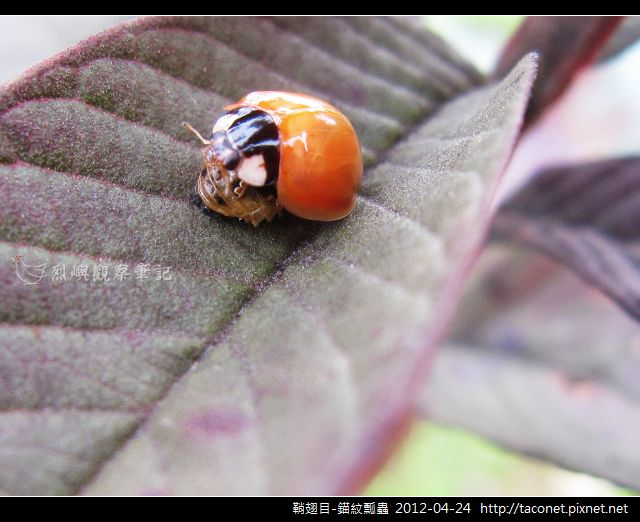 鞘翅目-錨紋瓢蟲_04