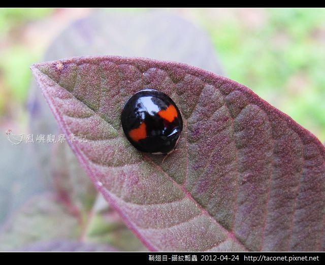鞘翅目-錨紋瓢蟲_05