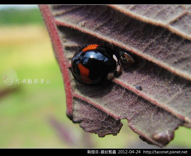 鞘翅目-錨紋瓢蟲_07