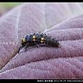 鞘翅目-錨紋瓢蟲_06