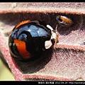 鞘翅目-錨紋瓢蟲_09