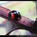 鞘翅目-錨紋瓢蟲_10