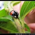 鞘翅目-錨紋瓢蟲_11