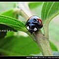 鞘翅目-錨紋瓢蟲_12