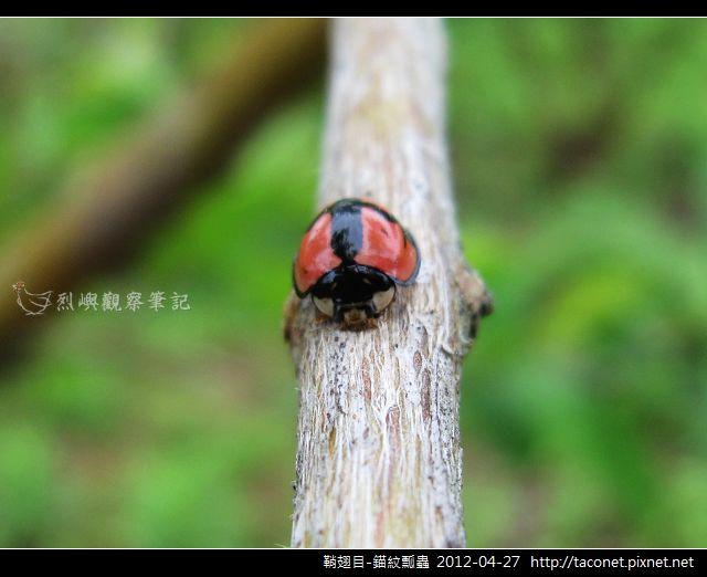 鞘翅目-錨紋瓢蟲_13