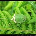 半翅目-南方綠椿_03