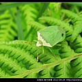 半翅目-南方綠椿_05