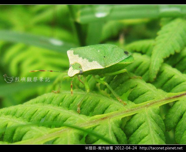半翅目-南方綠椿_04