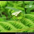 半翅目-南方綠椿_07