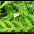 半翅目-南方綠椿_06