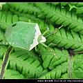 半翅目-南方綠椿_08