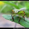 半翅目-南方綠椿_09