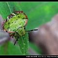 半翅目-南方綠椿_10