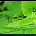 半翅目-南方綠椿_16