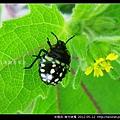 半翅目-南方綠椿_15