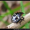 半翅目-南方綠椿_19