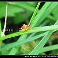 直翅目-黑脛草蟋蟀_10