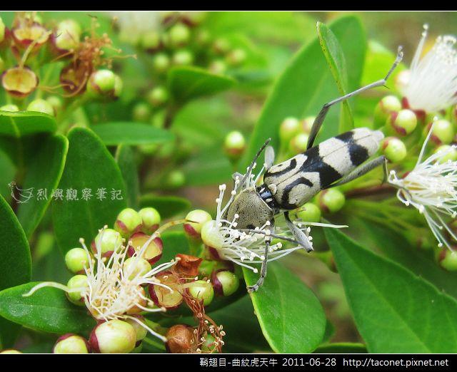 鞘翅目-曲紋虎天牛_06