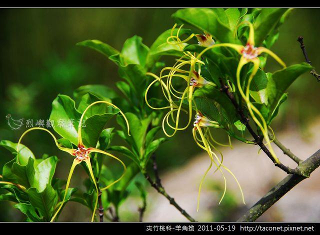 夾竹桃科-羊角拗_09