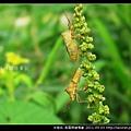 半翅目-長肩棘緣椿象_04