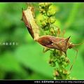 半翅目-長肩棘緣椿象_03