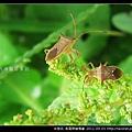 半翅目-長肩棘緣椿象_07